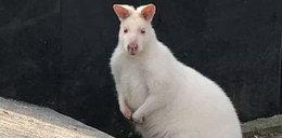 Zaskakująca kradzież na Śląsku. Zniknęły... kangury