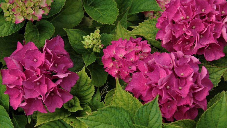 Hortensje zachwycają podczas kwitnienia - pasja1000/pixabay.com