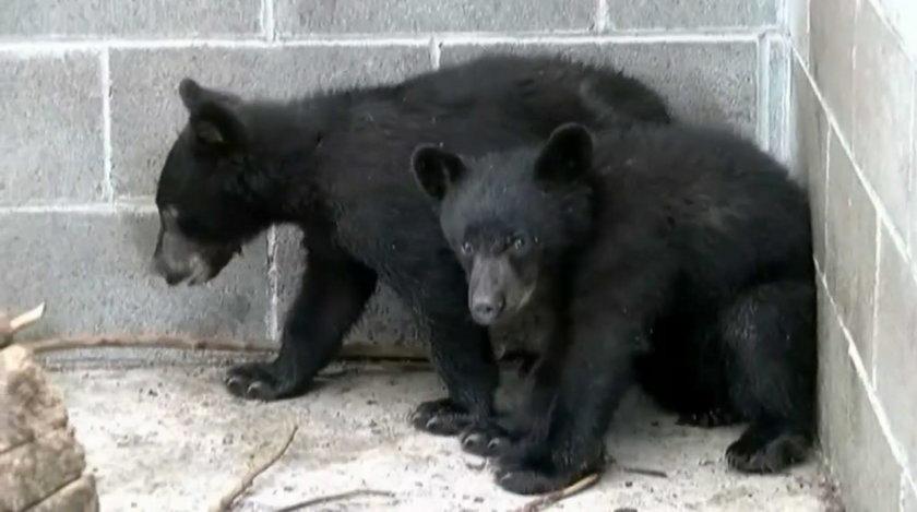 Dwa ocalone niedźwiadki