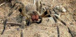 Jadowity pająk w krakowskim markecie?!