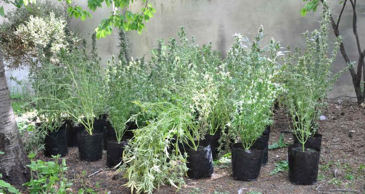 NIš05 stabljike kanabisa u saksijama u narko laboratoriji u Nisu