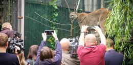 Tłumy w zoo. Wszyscy chcą zobaczyć słynną Nubię