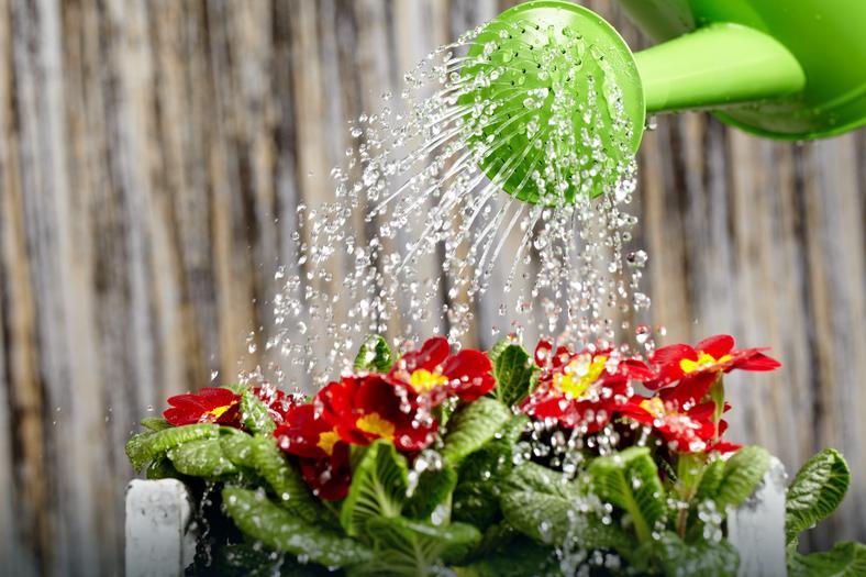 Pamiętajmy o regularnym podlewaniu roślin