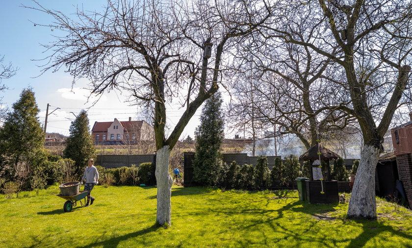 W Radzionkowie ogrodnicy ze Śląskiego Ogrodu Botanicznego ratują stare odmiany drzew owocowych. Sad należący do Krystiana Letochy.