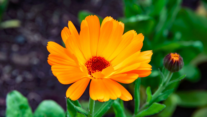 Nagietek, kwiaty