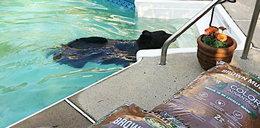 Niezwykły gość w basenie. Ludzie przecierali oczy ze zdziwienia