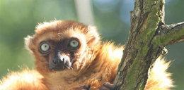 Poznań: lemury muszą schudnąć