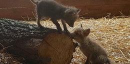 Te dwa małe liski straciły matkę. Wymyśl imiona dla rudzielców