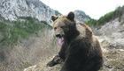 SPECIJALNE TURE NA TARI Strani turisti će dolaziti zbog FOTO-TURA s mrkim medvedima