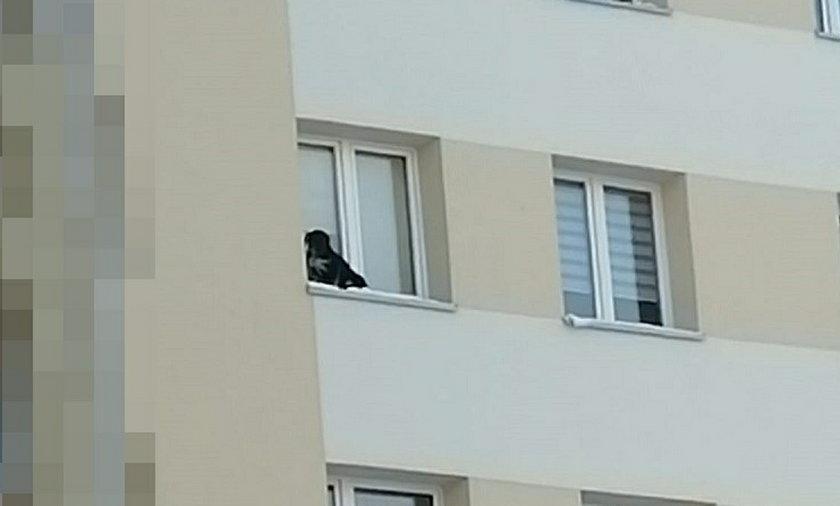 W takim stanie pies znajdował się na parapecie.