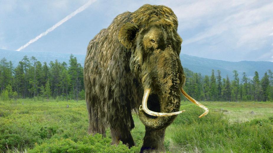 Naukowcy chcą odtworzyć mamuty