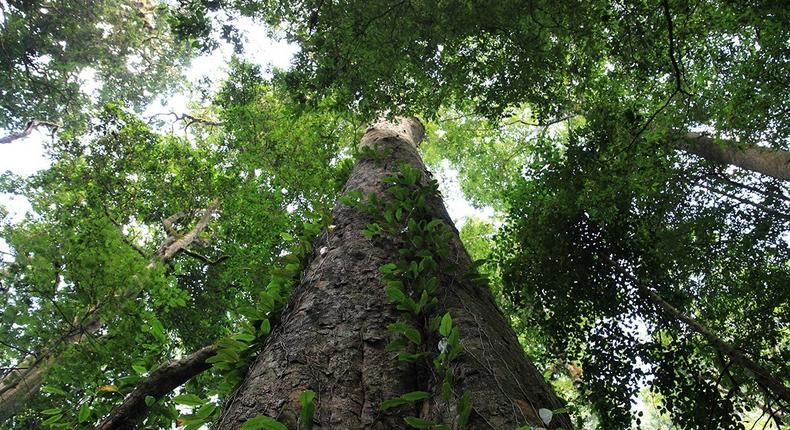 Africa's tallest indigenous tree – measuring 81.5 metres