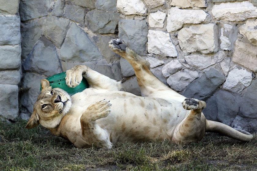 Chorzów. Akcja zbiórki zabawek dla zwierząt ze Śląskiego Ogrodu Zoologicznego