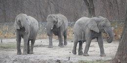 Nasze słonie uwielbiają buraki
