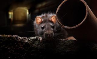 Do walki ze szczurami zmusza ustawodawca, a nie gmina
