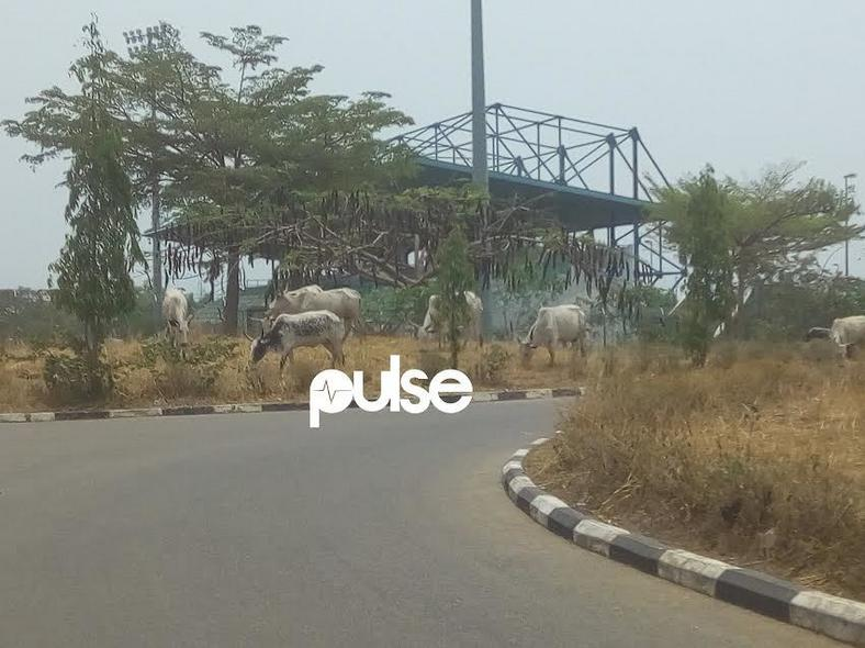 Cattle grazing at the Abuja National Stadium