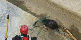 Strażacy uratowali bobra