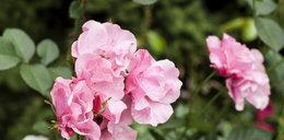 Oto najstarsza róża w Polsce. Posadzili ją jeszcze przed...