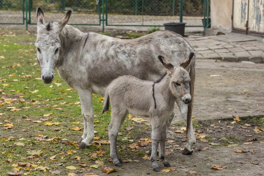 Antoninie i Napoleonowi, słynnej parze osiołków urodził się syn