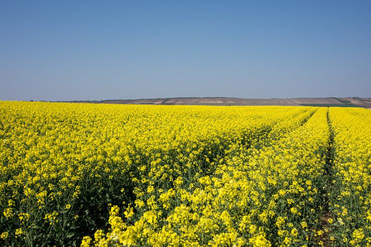 Novi Sad417 polja uljane repice u Vojvodini foto Nenad Mihajlovic