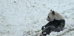 Mała panda zachwycona pierwszym śniegiem