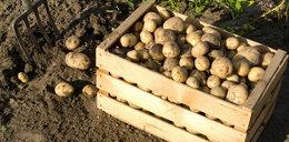 Co się dzieje?! Ziemniaki droższe o 138 proc.!