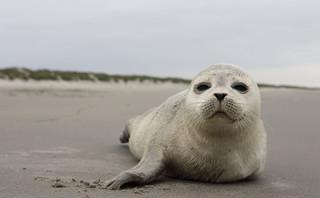 Według Stacji Morskiej w Helu do śmierci trzech fok nie przyczynił się człowiek