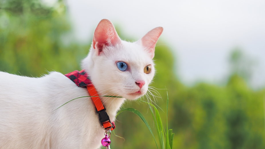 Koty rasy khao manee mają każde oko w innym kolorze - naenaejung/stock.adobe.com