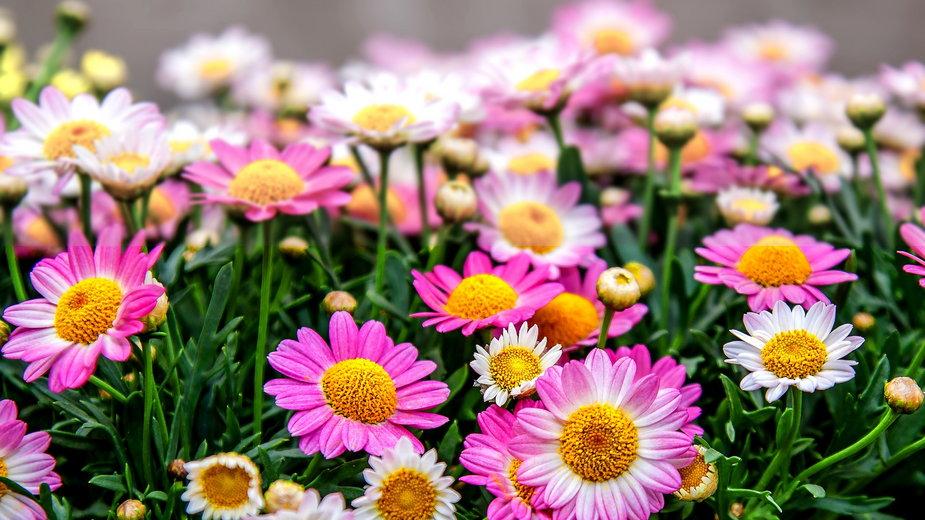 Chryzantemy pięknie prezentują się na tarasie lub balkonie - Foto-Rabe/pixabay.com