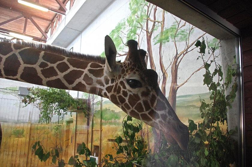 Jak zwabić żyrafy na wybieg?