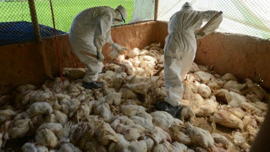 Wirus H5N8 jest niegroźny dla człowieka, ale dla drobiu jest wręcz zabójczy