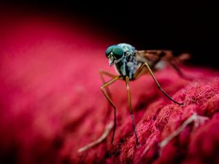 Macro Shot Of Mosquito On Red Fabric