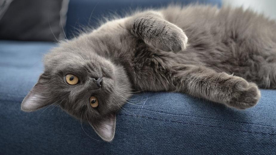 Kot nebelung jest doskonałym towarzyszem dla osób starszych - tashka2000/srock.adobe.com
