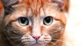 Co zrobić, gdy kotu ropieją oczy?