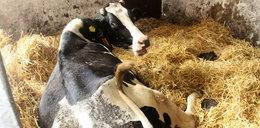 24-latka z Podlasia zamordowała 18 krów