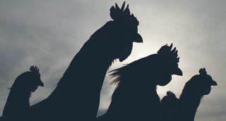 Walka polskich kurczaków o chińskiego klienta
