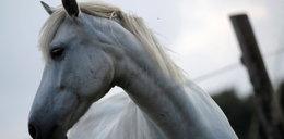 Ktoś morduje i okalecza konie! Dziesiątki ofiar, policja mówi o sekcie