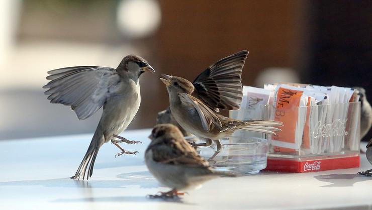 borba vrabaca za secer 1