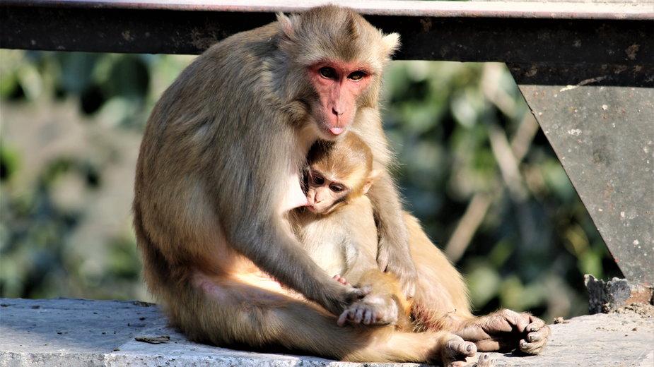 Zaskakujące zachowanie małpich matek po śmierci potomstwa