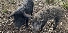 Smutny los świń, które zjadły rolnika na Dolnym Śląsku