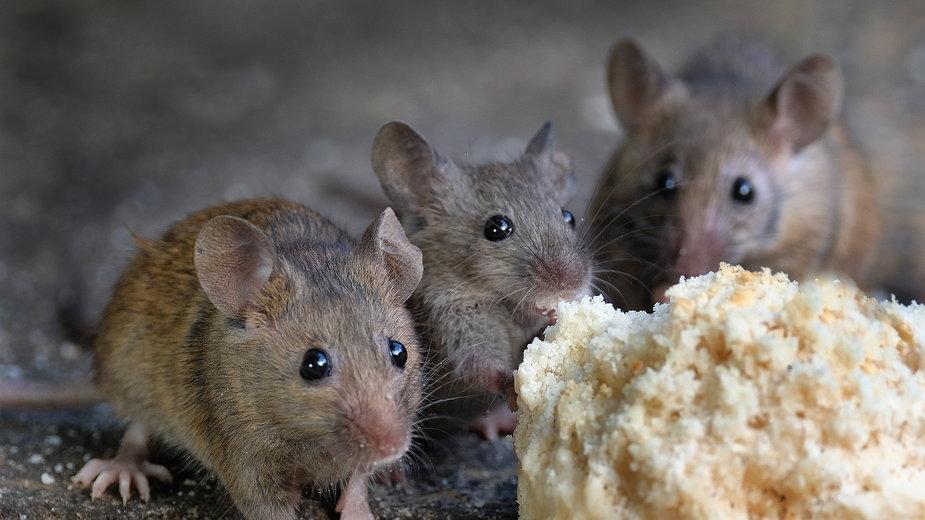 Myszy w domach szukają pożywienia i schronienia - Paul/stock.adobe.com