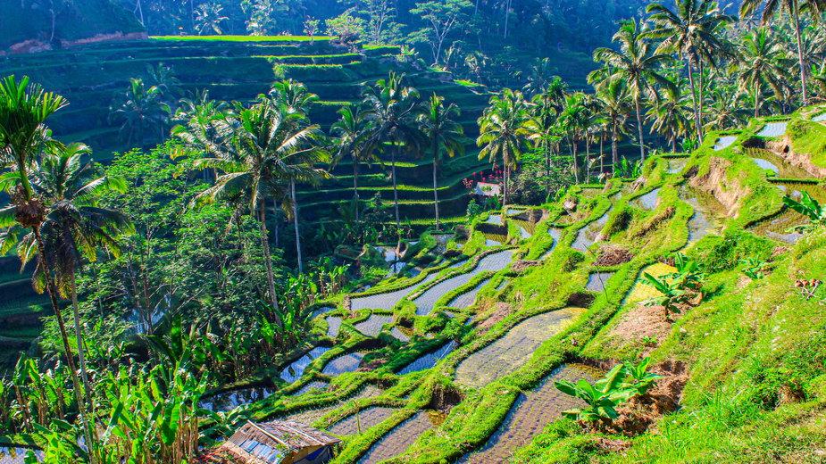Na Bali nawet pola ryżowe wyglądają zjawiskowo. Sprawdź, dlaczego warto odwiedzić tą rajską wyspę