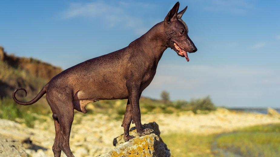 Nagi pies meksykański - Irina/stock.adobe.com