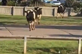 Vels krave krdo krava prtscn Youtube News Seeker