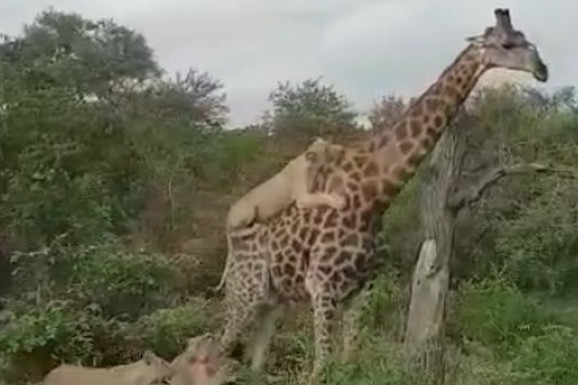 Kako je hrabra žirafa PREŽIVELA NAPAD ŠEST GLADNIH LAVOVA (VIDEO)