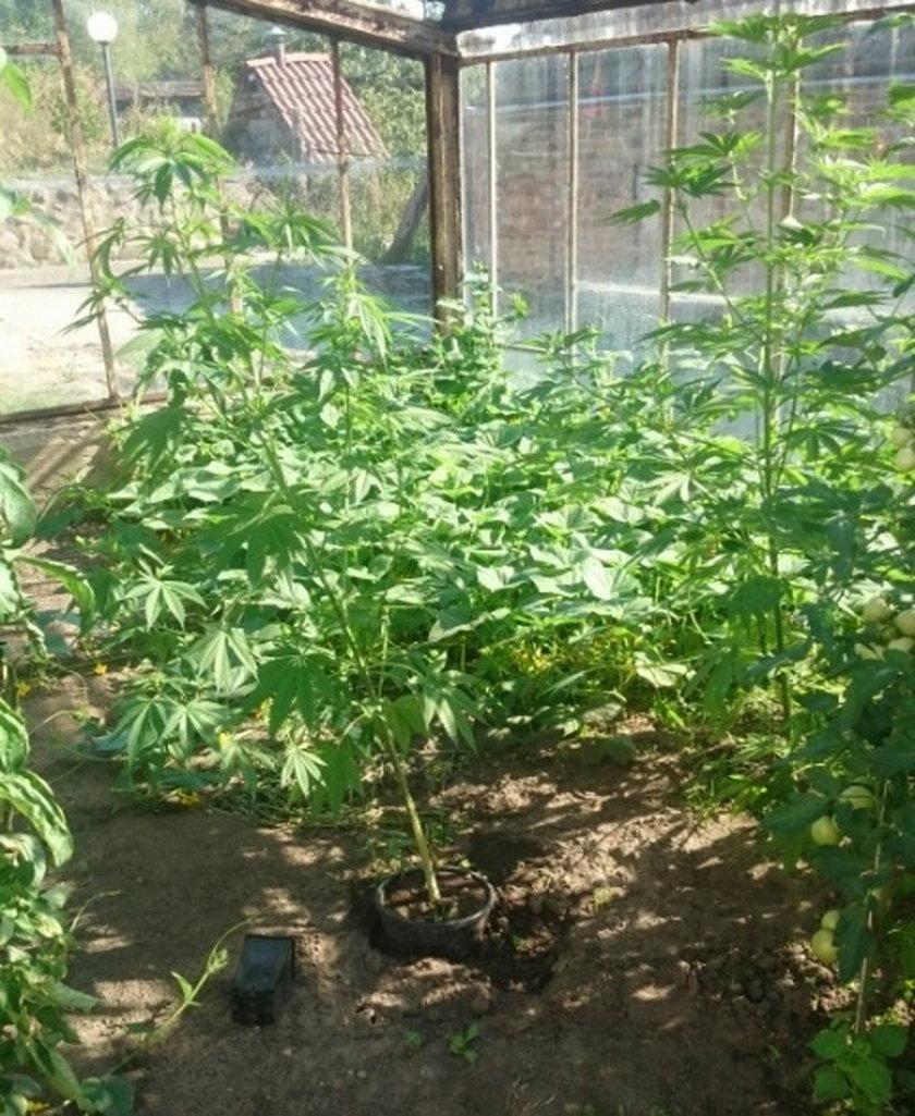 27-latek uprawiał w szklarni pomidory i marihuanę