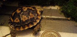 Mały żółw wykluł się w ZOO