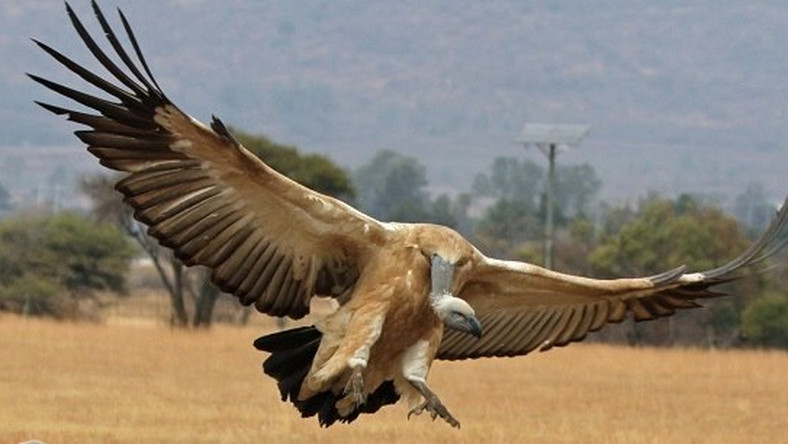 Police cry out as arrested vulture consumes N30,000 worth of meat after 6-days in detention.