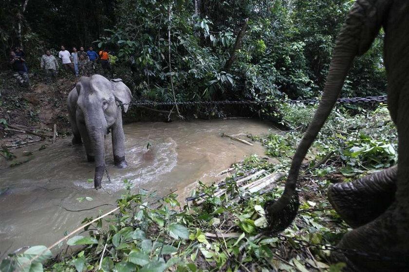 dzieki słoń, malezja