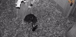 Narodziny drakuli we wrocławskim zoo. Jest nagranie